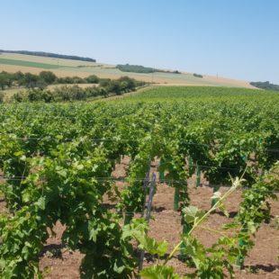 Velká vinice