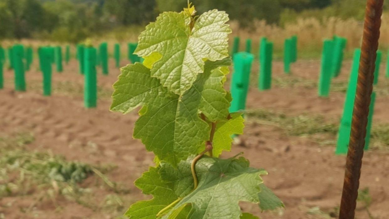 Malá vinice